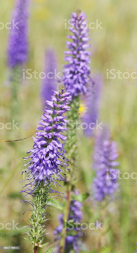 Spiked Speedwell (Veronica spicata) stock photo