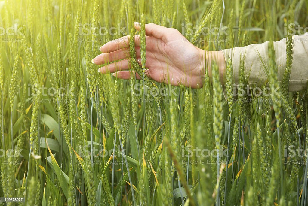 Spikelets and the woman palms. royalty-free stock photo