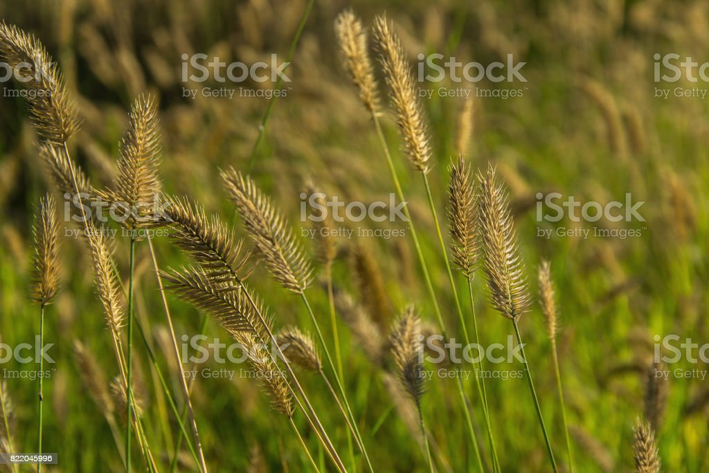 Spikelets in a field close up stock photo
