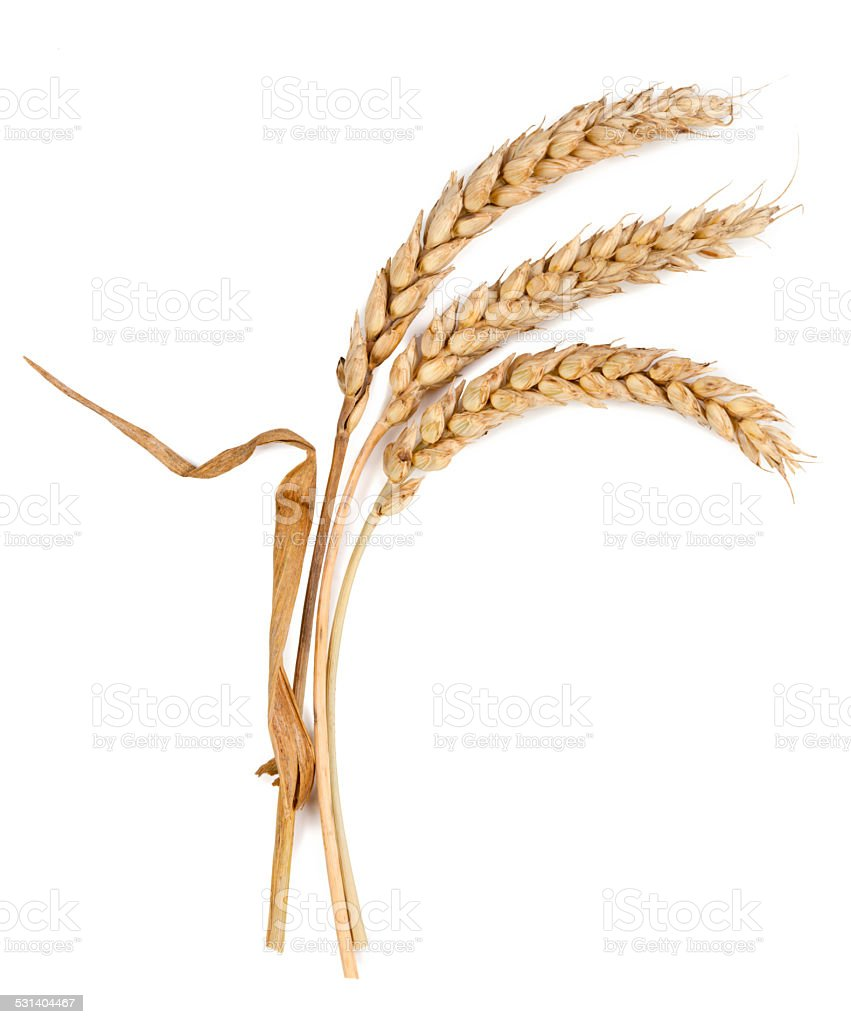spikelets isolated on white background stock photo