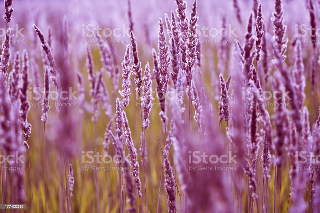 Spikelets of grass blooming royalty-free stock photo