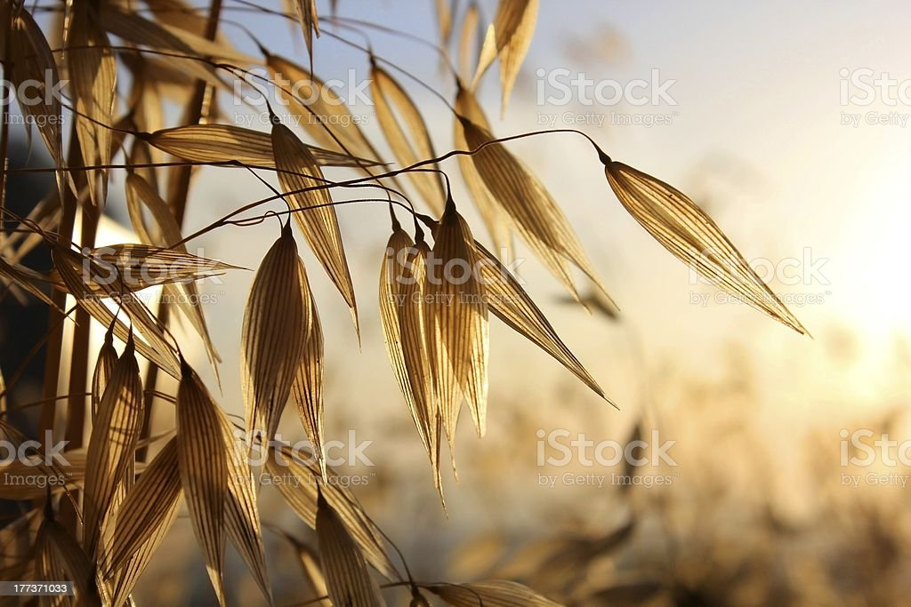 spikelets of oats royalty-free stock photo
