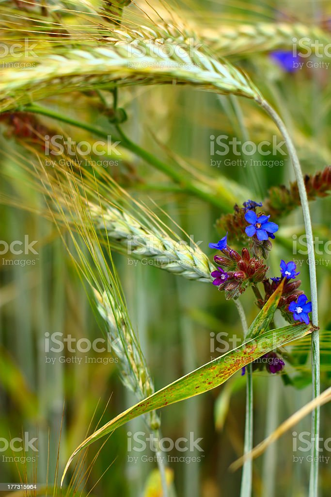 Spikelets of wheat and wild flowers close-up royalty-free stock photo