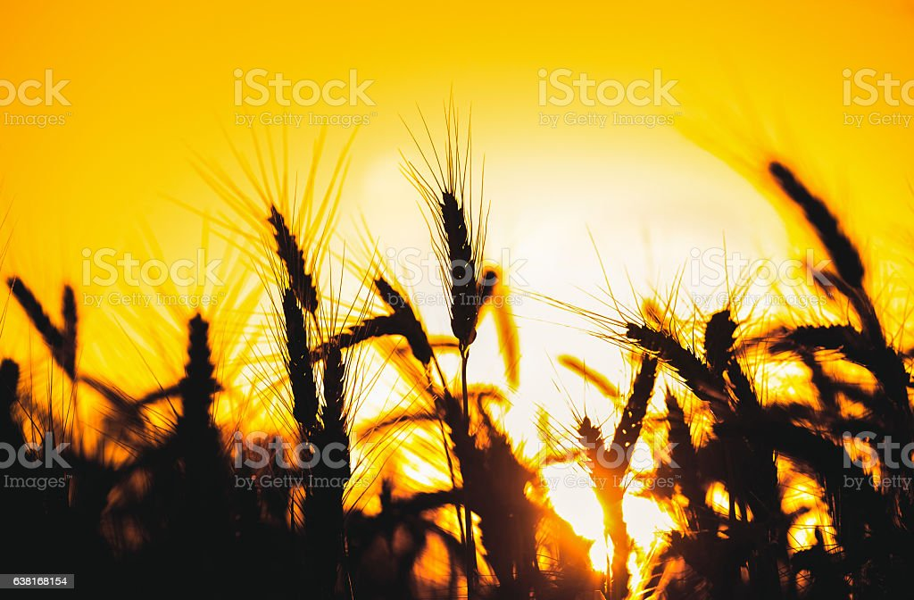 spikelets of wheat gold color in the field stock photo