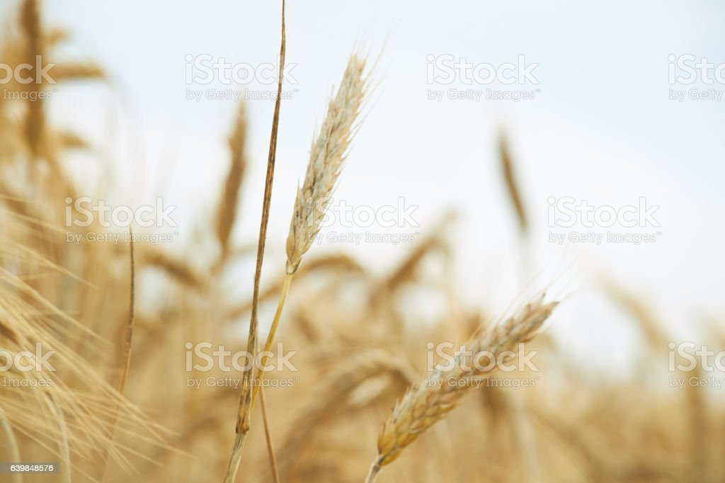 spikelets of wheat in summer stock photo