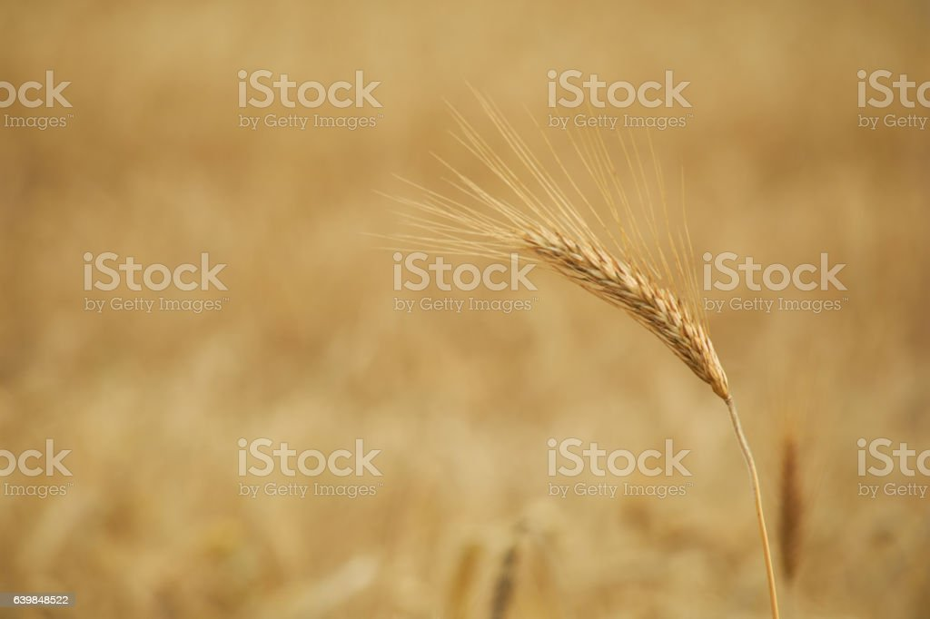 spikelets of wheat in the summer close-up stock photo