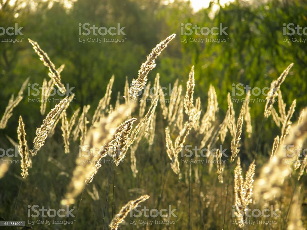 Spikelets on the field stock photo
