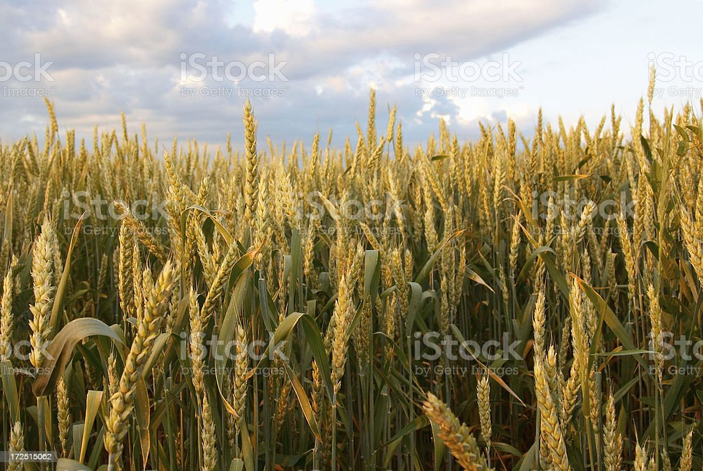 spikelets stock photo
