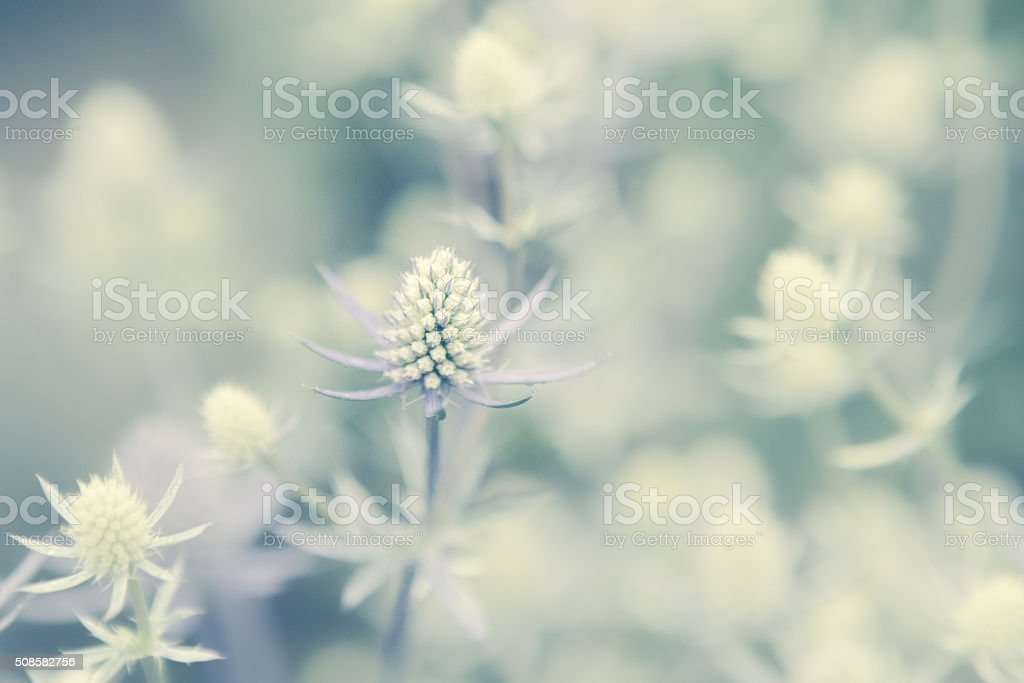 Spikey Flower Plants - Sea Holly Growing In Summer Garden stock photo