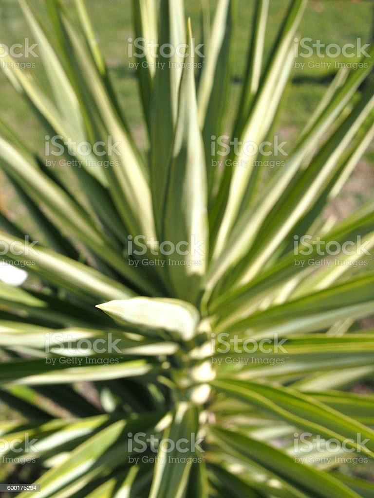 Spikey plant background, Melbourne 2016 stock photo
