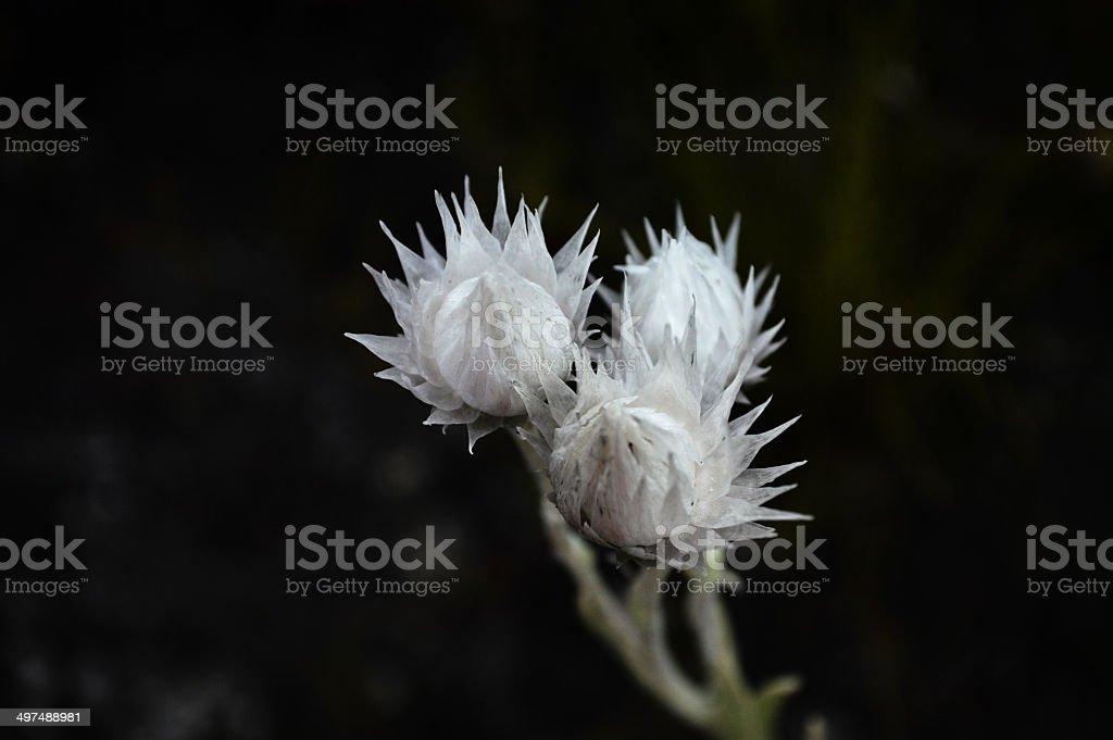 Spikey, white flowers. stock photo