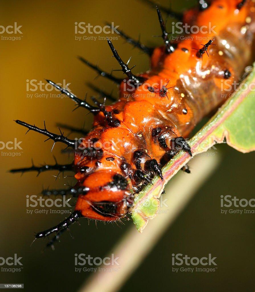 Caterpillar comer hoja de punta foto de stock libre de derechos