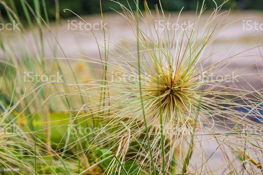 Spiky coastal tumbleweed stock photo