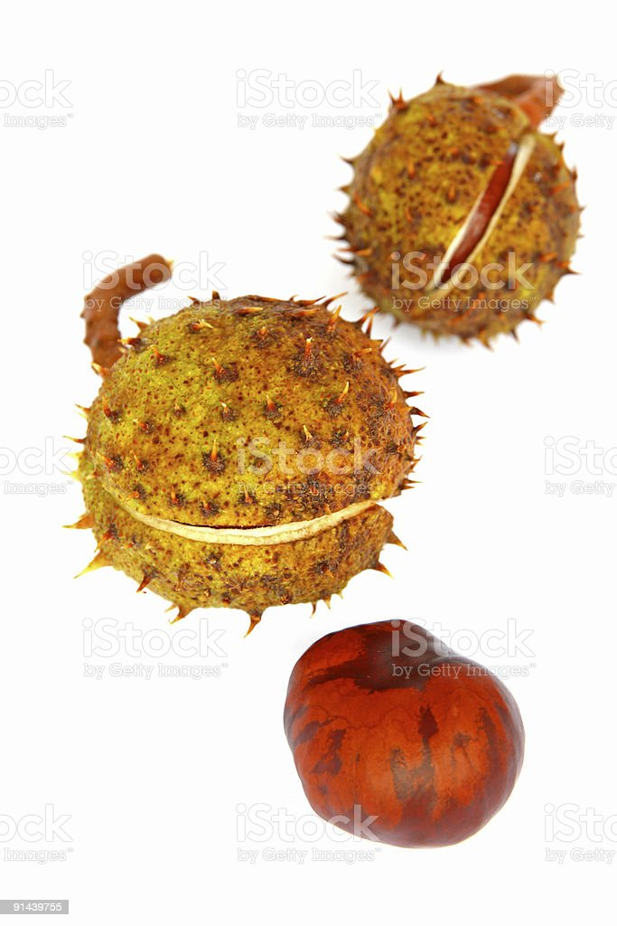 spiky cupule and chestnut stock photo