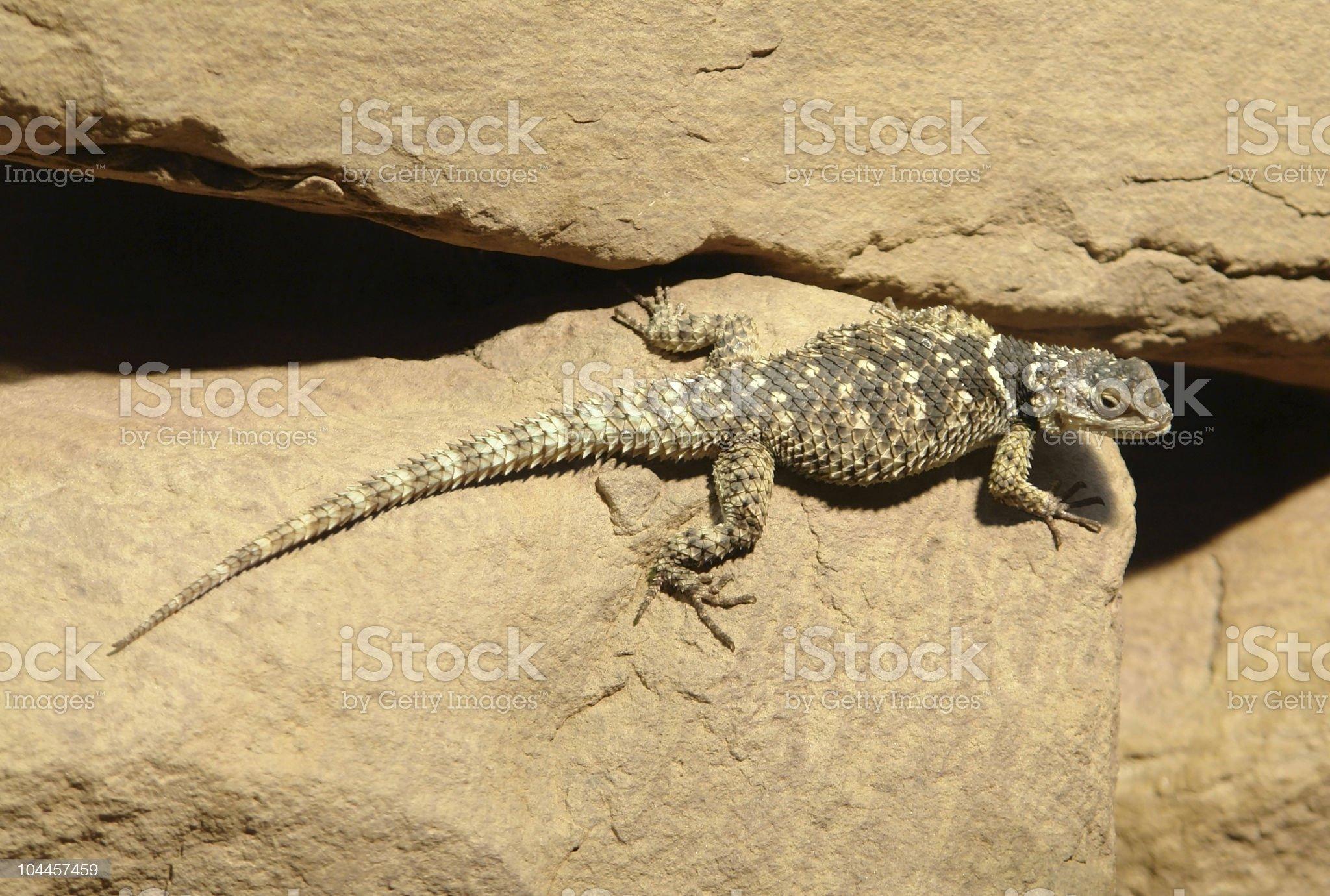 spiky Lizard on stone royalty-free stock photo