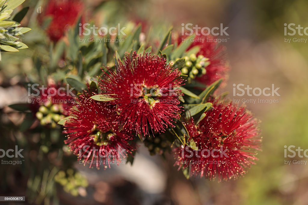 Spiky red puff flower stock photo