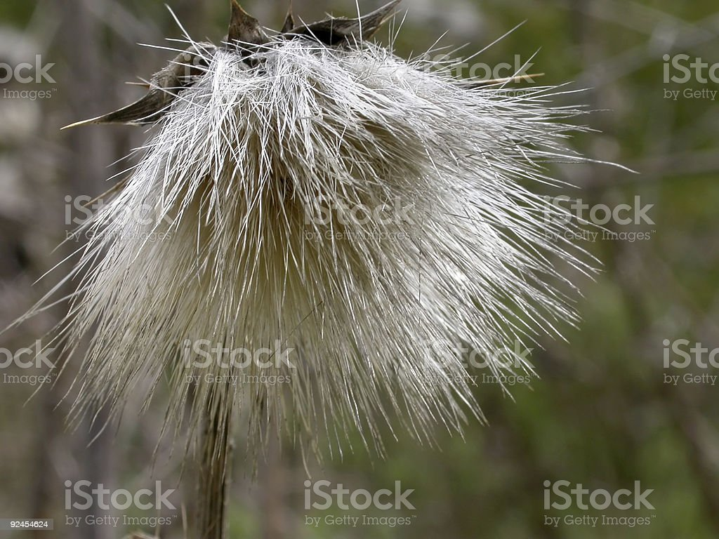 Spiky Seed Pod 2 royalty-free stock photo