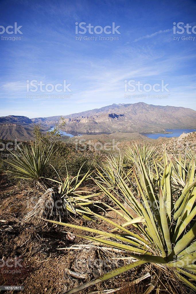 Spiky Yucca stock photo