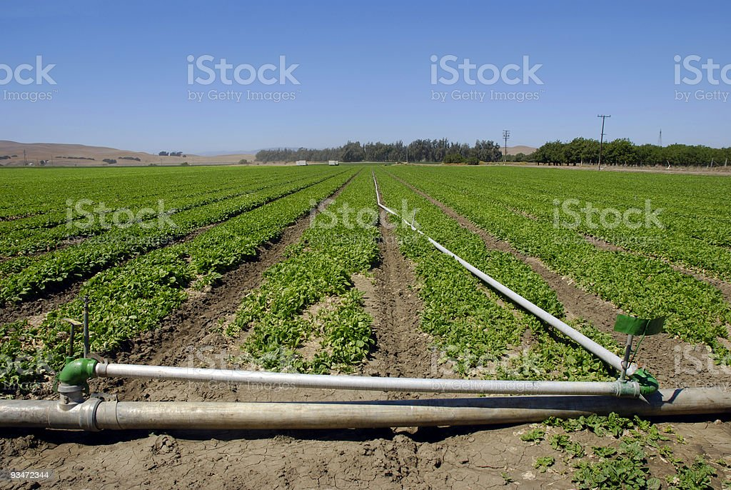 Spinach Crop royalty-free stock photo