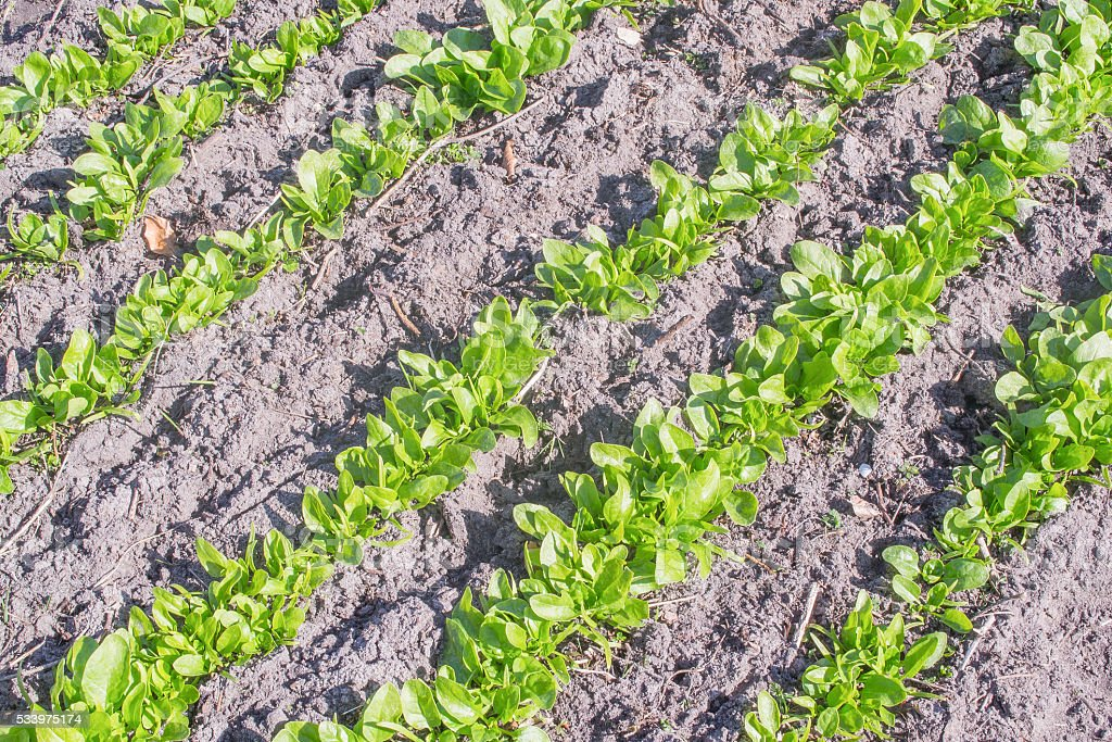 Spinach in the vegetable garden. stock photo
