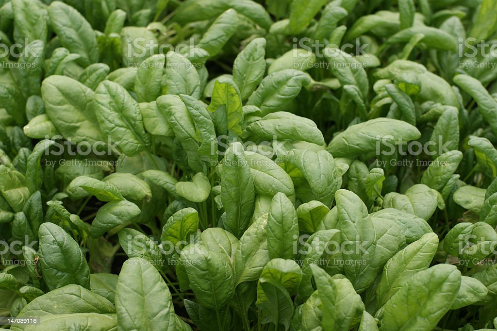 Spinach royalty-free stock photo