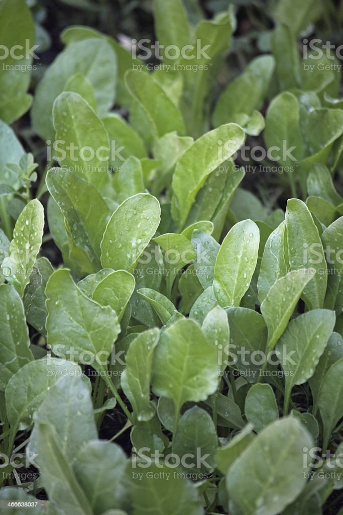 Spinach, Spinacia oleracea royalty-free stock photo