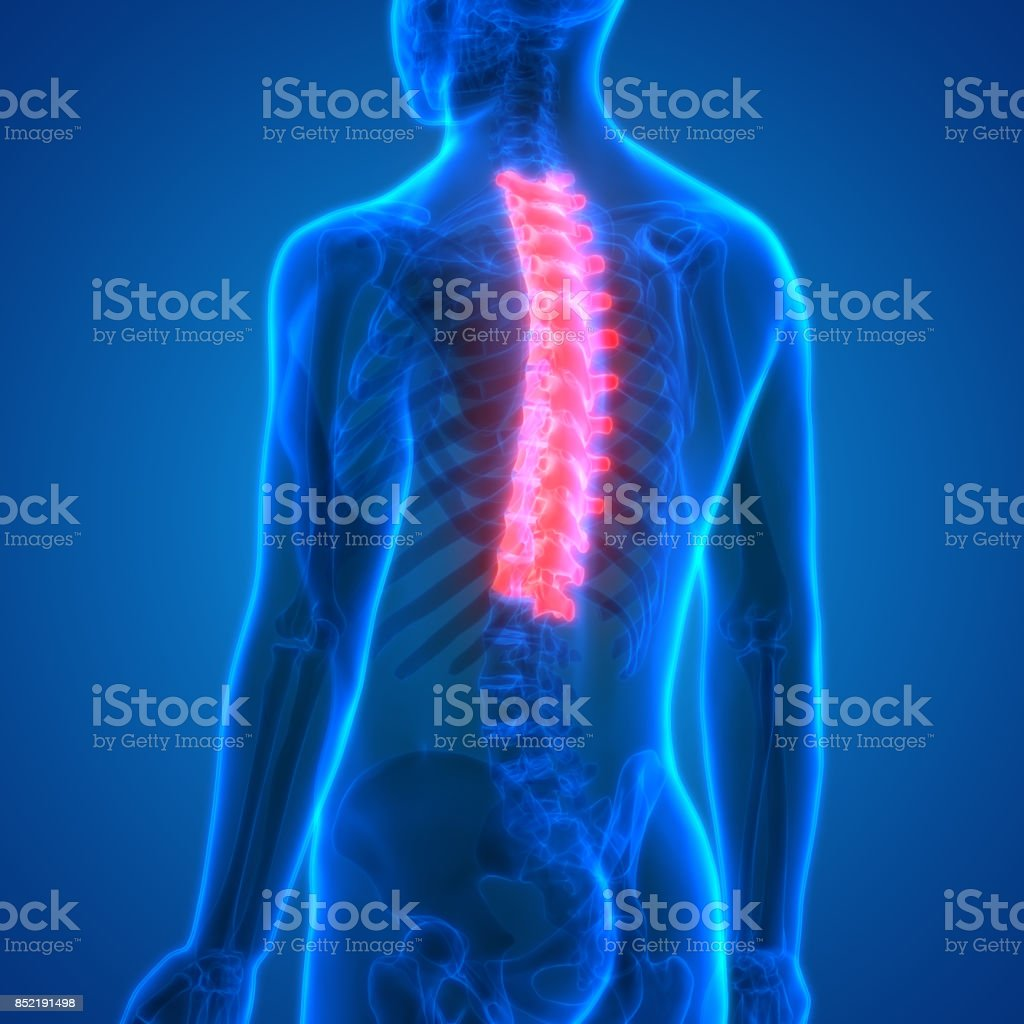 Spinal cord (Thoracic Vertebrae) a Part of Human Skeleton Anatomy stock photo