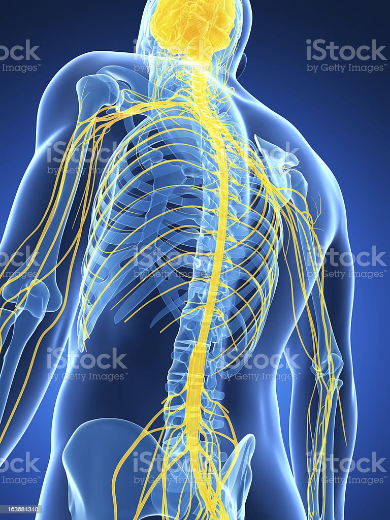 spinal cord and nerves stock photo
