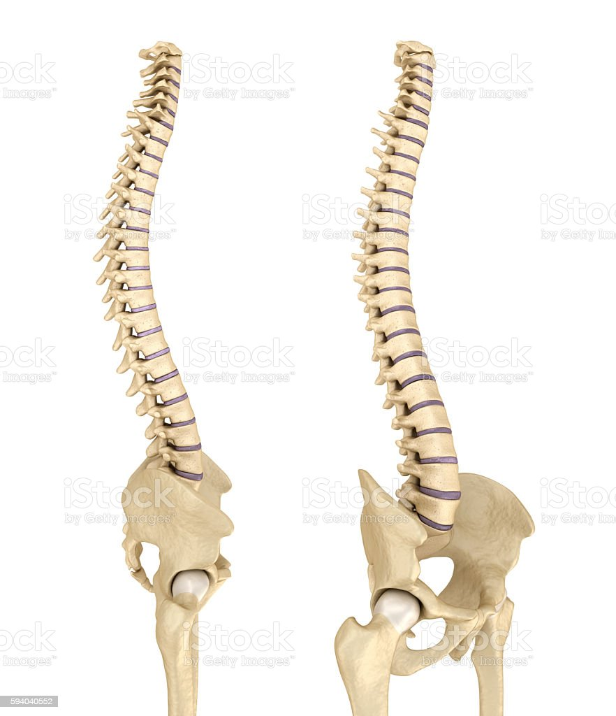 Spinal cord and pelvis . Medical accurate 3D illustration stock photo
