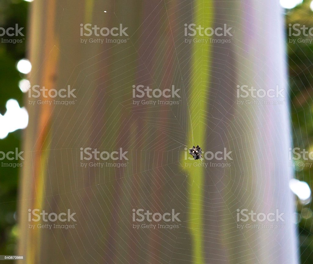 Spinder in its web in front of Rainbow Eucalyptus Tree stock photo