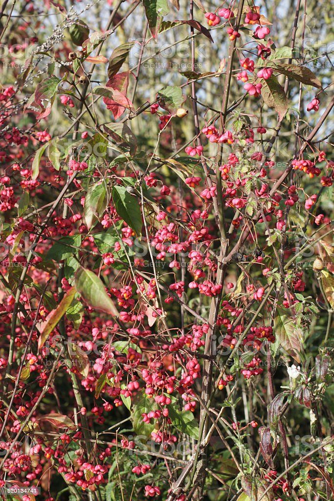 Spindle tree Euonymus europaeus pink fruit stock photo