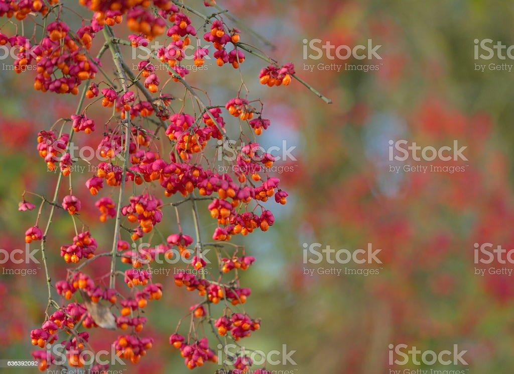 spindle tree macro nature stock photo
