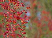 spindle tree macro nature