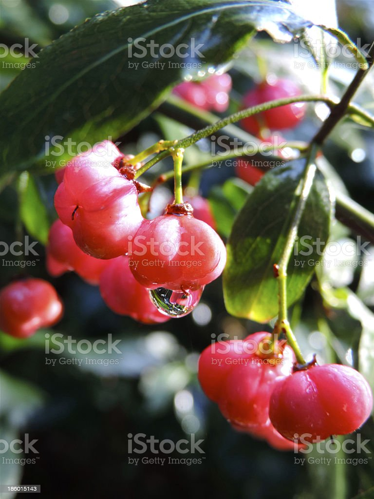 spindle tree stock photo