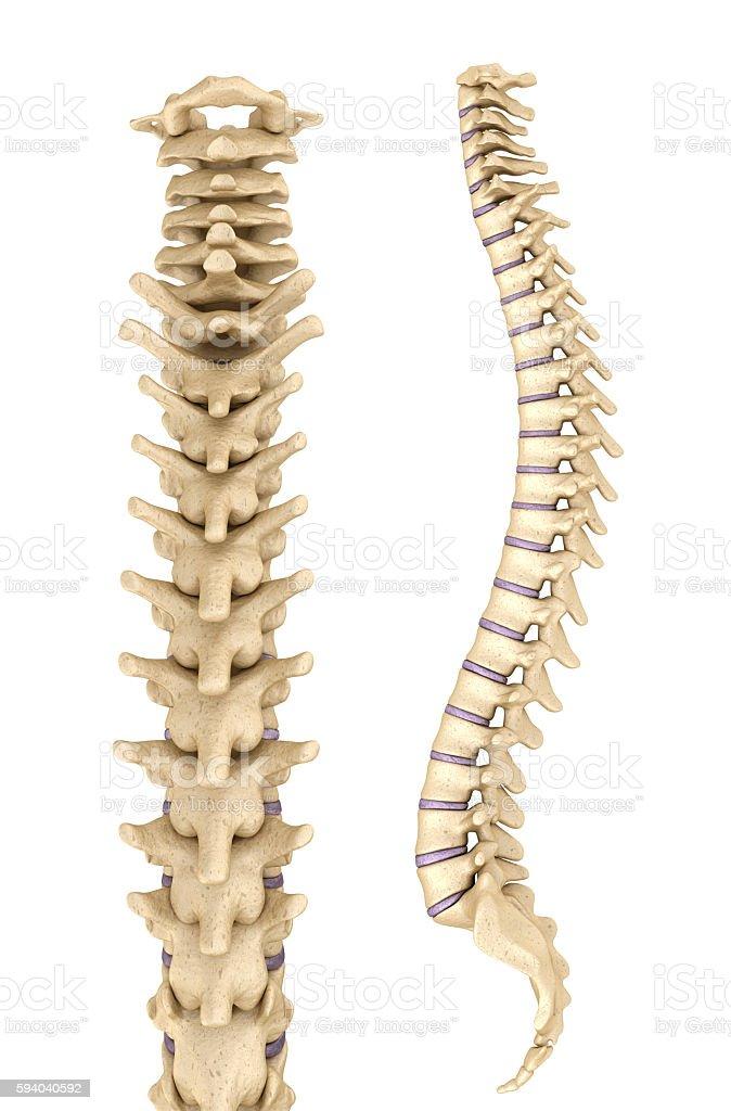 Spine anatomy , 3d render stock photo