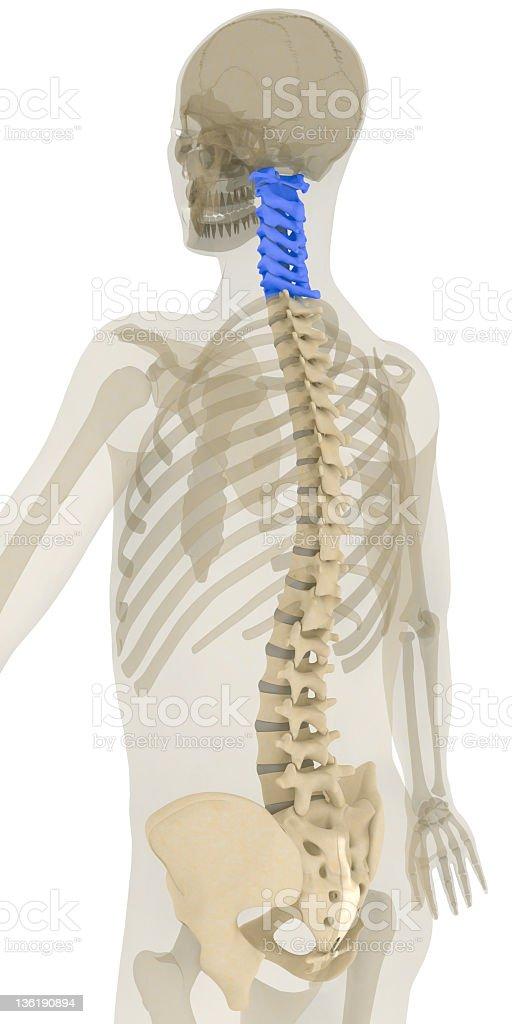 Spine-cervical vertebrae highlighted stock photo