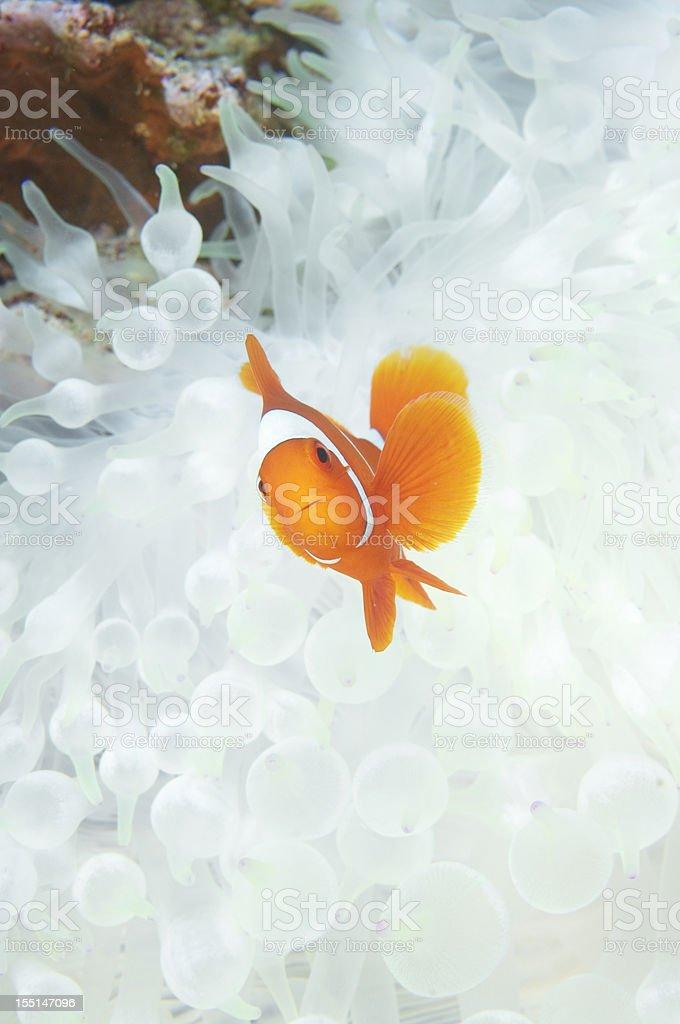 Spinecheek Anemone fish ( Premnas biaculeatus) stock photo