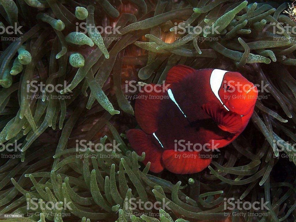 Spinecheek anemonefish stock photo