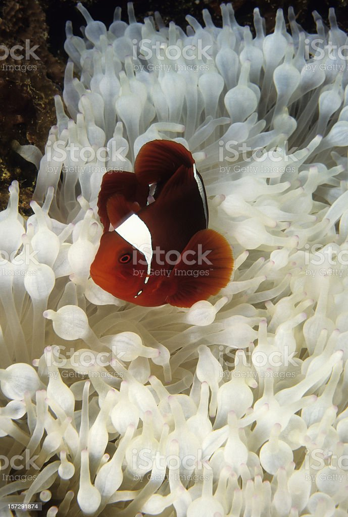 Spinecheek Clownfish in Bleached Anenome. royalty-free stock photo