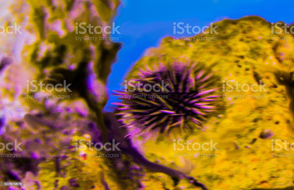 Spined Sea Urchin stock photo