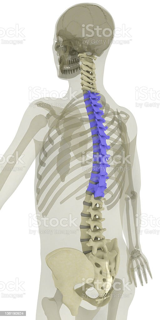 Spine-thoracic vertebrae highlighted stock photo