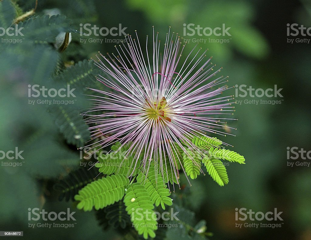 spiney tropical flower royalty-free stock photo