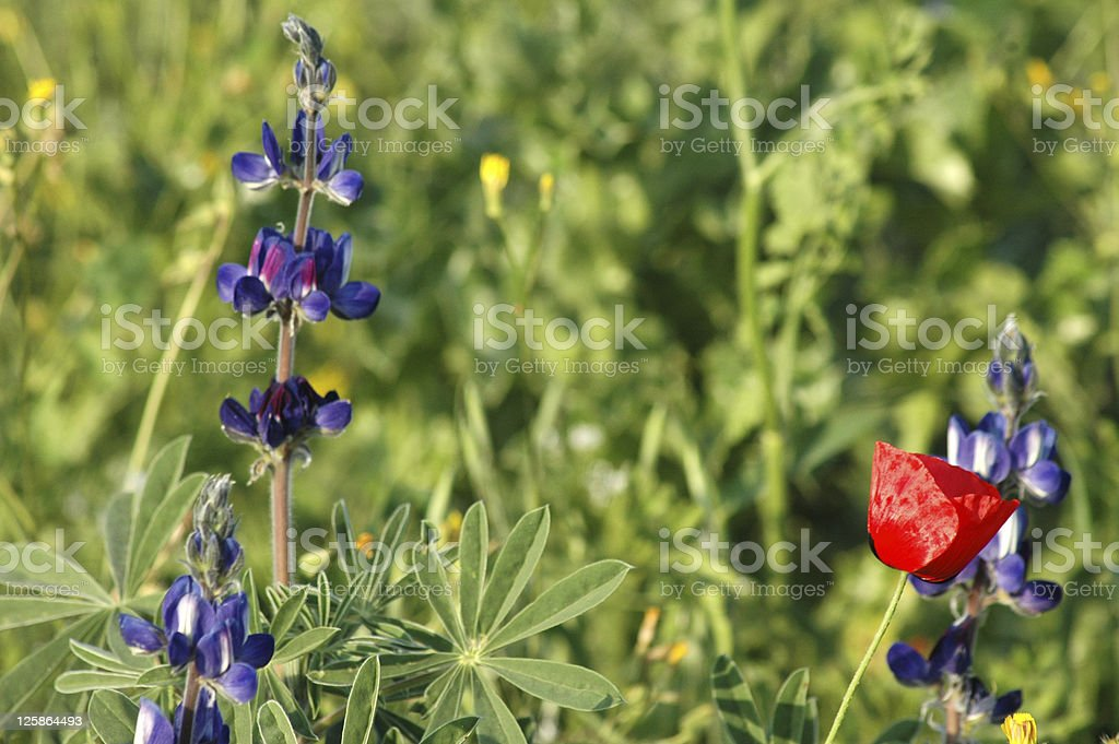Sping Bloom in Northern Israel royalty-free stock photo
