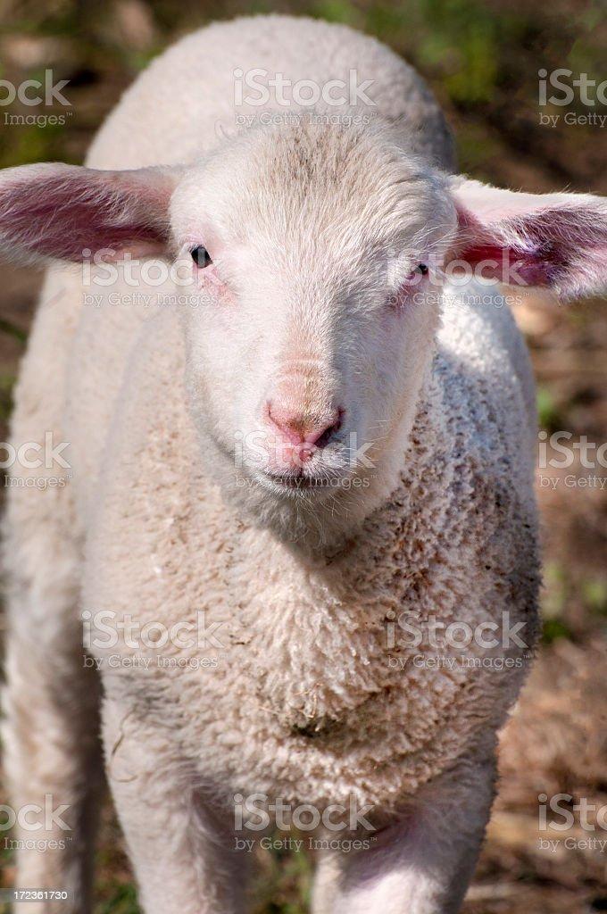 sping lamb royalty-free stock photo
