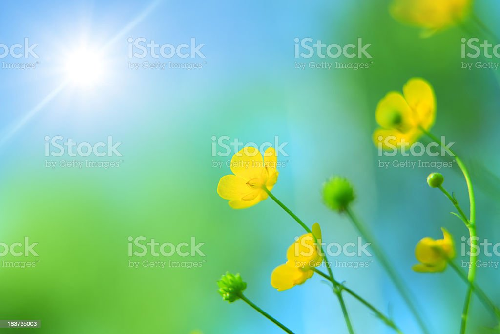 Sping Meadow - Yellow Flowers Looking Toward the Sun royalty-free stock photo