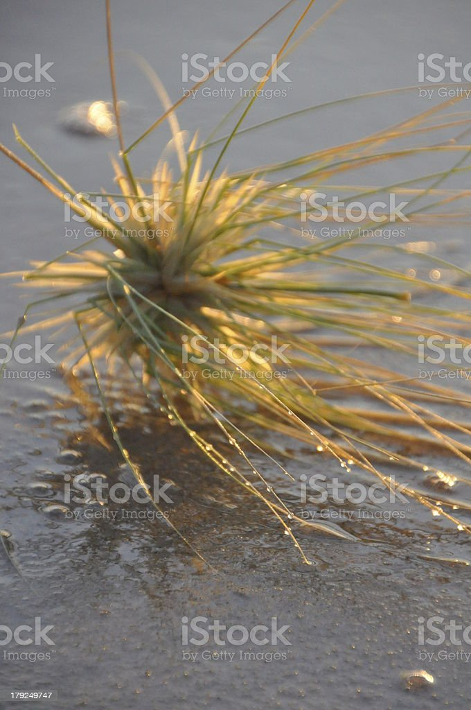 Spinifex Grass on Sand stock photo