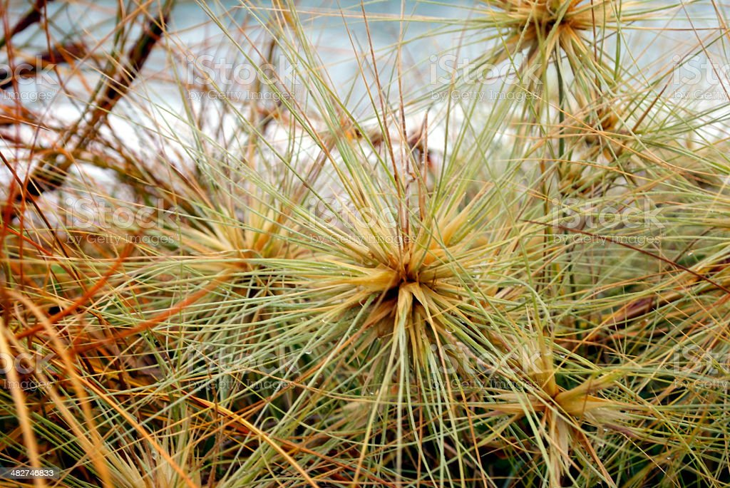 Spinifex Grass stock photo