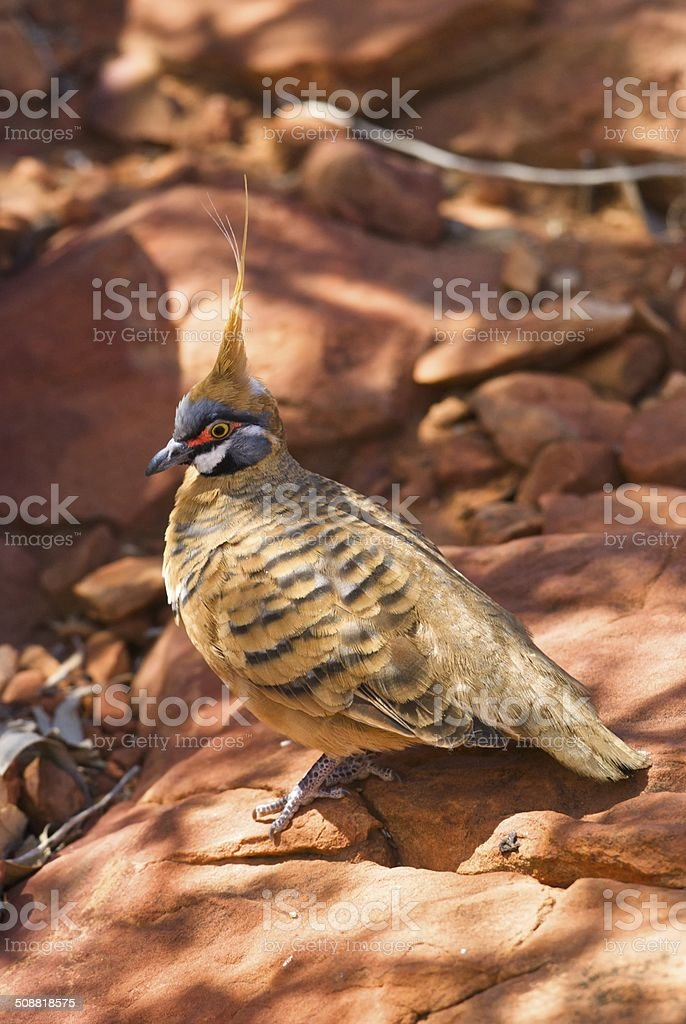 Spinifex Pigeon on red rock stock photo