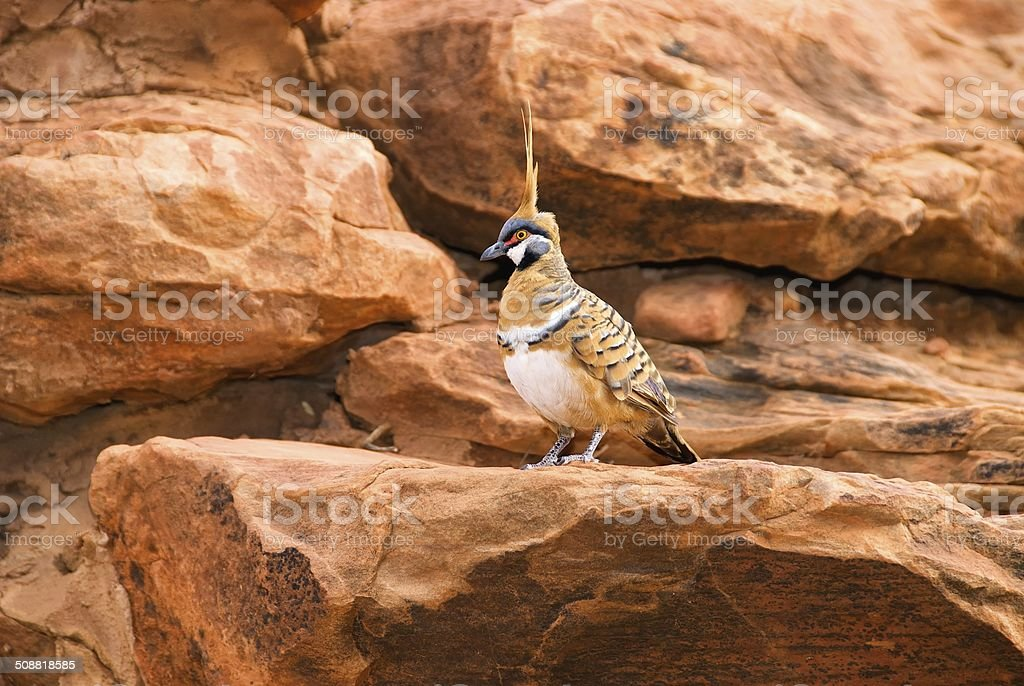 Spinifex Pigeon on Rocky Ledge stock photo