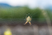 Spinne (Kreuzspinne)